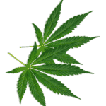 Hemp Organic CBD Leaf